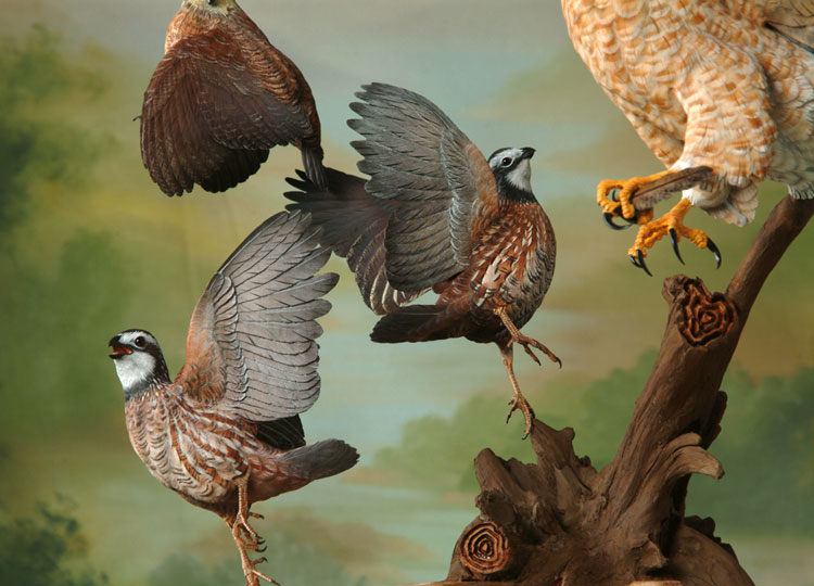 Pics For > Bobwhite...